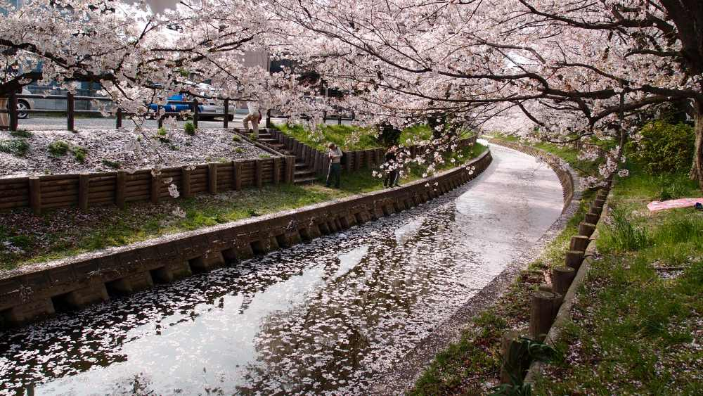 Cherry Blossom trees along a river.